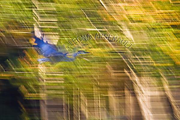 LENS CREATION;ABSTRACT;BLUE HERON;BIRD;HORIZONTAL