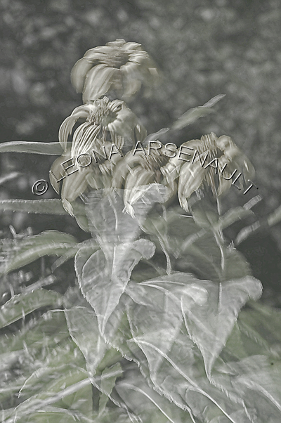 IMPRESSIONISTIC;LENS CREATION;ABSTRACT;FLOWERS;BLACK AND WHITE;VERTICAL