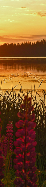 LUPINS;FLOWERS;SUNSET;BOOKMARK