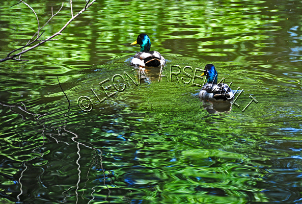 MALLARD DUCKS;DUCKS;WATERFOWLS;BIRDS;HORIZONTAL