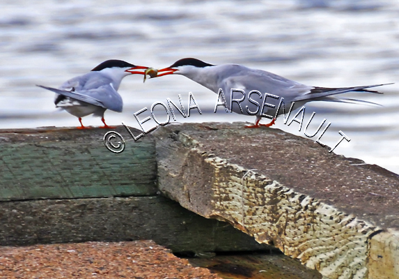 COMMON TERN;TERNS;BIRDS;SEABIRDS;HORIZONTAL