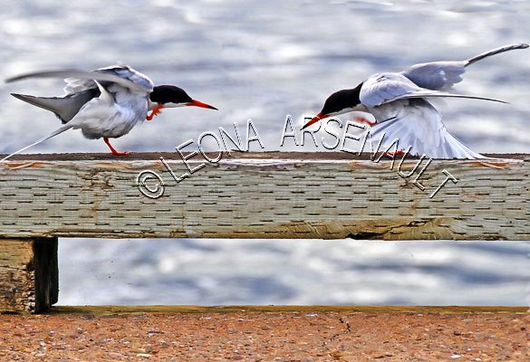 COMMON TERNS;TERNS;BIRDS;SEABIRDS;HORIZONTAL