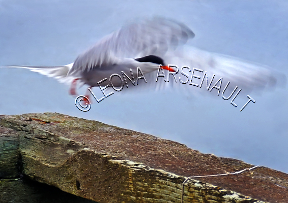 COMMON TERN;TERN;BIRD;SEABIRD;HORIZONTAL
