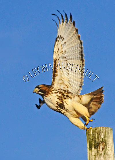 RED_TAIL_HAWK;HAWK;BIRD;VERTICAL