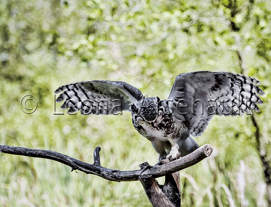 BIRDS;GREAT HORNED OWL;OWL;BIRDS OF PREY;STRIGIFORMES;HORIZONTAL;