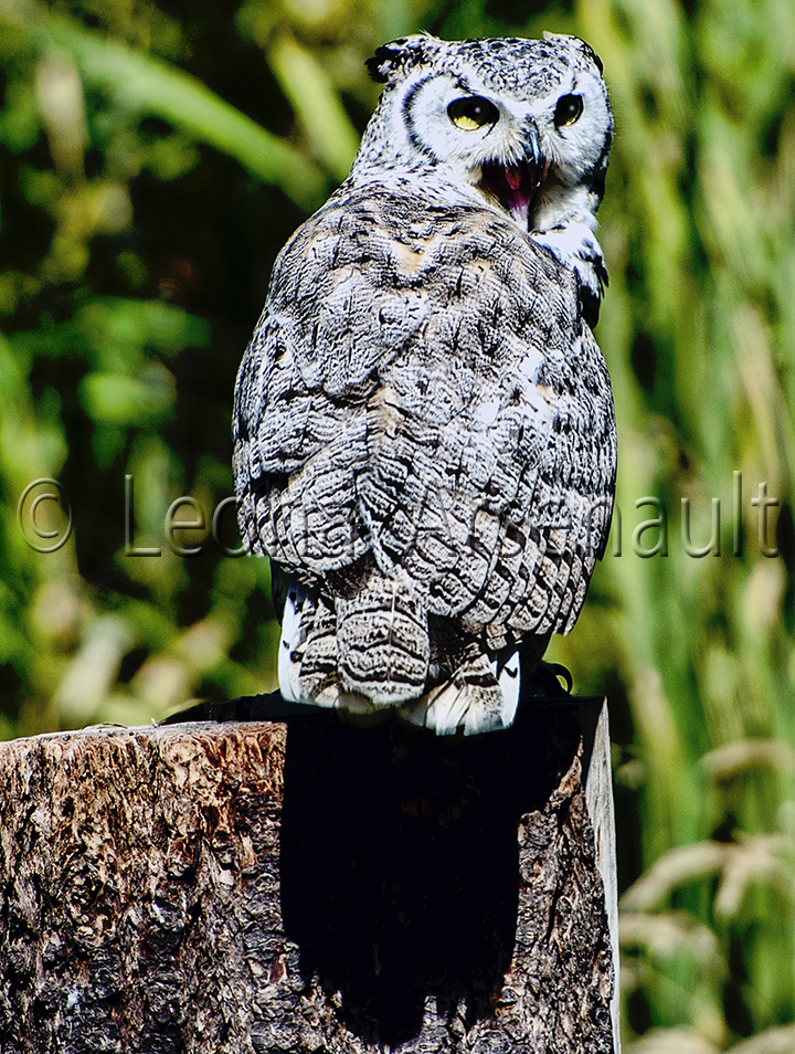 BIRDS;GREAT HORNED OWL;OWL;BIRDS OF PREY;STRIGIFORMES;VERTICAL;