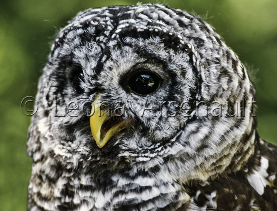 BIRDS;SNOWY_OWL;OWL;BIRDS_OF_PREY;STRIGIFORMES;HORIZONTAL;