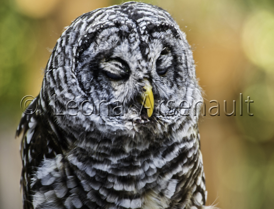 BIRDS;SNOWY OWL;OWL;BIRDS OF PREY;STRIGIFORMES;HORIZONTAL;
