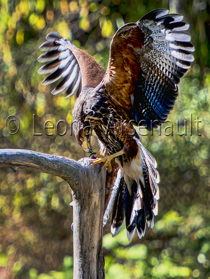 BIRDS;HARRIS HAWK;HAWK;BIRDS OF PREY;RAPTOR;VERTICAL;