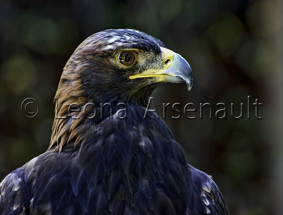 BIRDS;HARRIS HAWK;HAWK;BIRDS OF PREY;RAPTOR;HORIZONTAL;