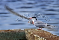 COMMON_TERNS;TERN;BIRDS;SEABIRDS;HORIZONTAL