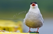 COMMON_TERN;BIRD;HORIZONTAL