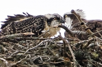 OSPREYS,_BIRDS;NEST;BIRDS_OF_PREY;HORIZONTAL