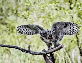 BIRDS;GREAT_HORNED_OWL;OWL;BIRDS_OF_PREY;STRIGIFORMES;HORIZONTAL;