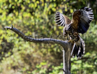 BIRDS;HARRIS_HAWK;HAWK;BIRDS_OF_PREY;RAPTOR;HORIZONTAL;