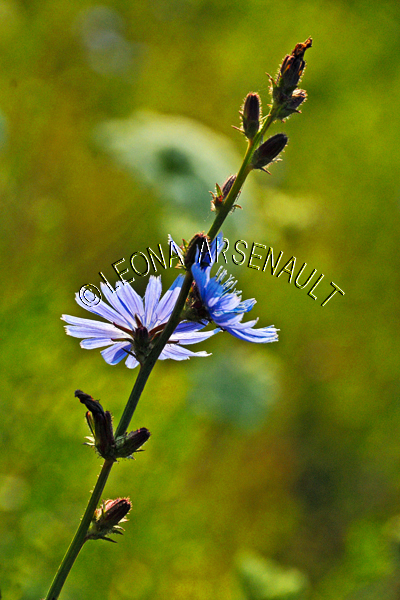 FLOWERS;CHICORY;BLUE;PURPLE;LAVENDER;VERTICAL