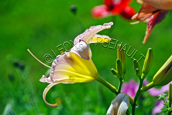 FLOWERS;LILIES;YELLOW;PINK;HORIZONTAL