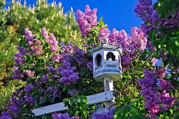 FLOWERS;LILACS;BIRD HOUSES;PINK;HORIZONTAL