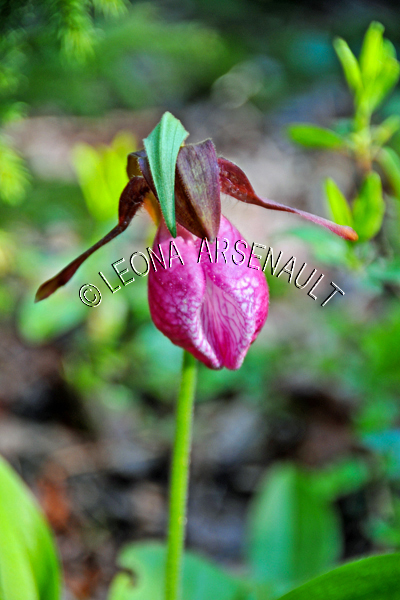 FLOWERS;LADY SLIPPERS;PINK;VERTICAL