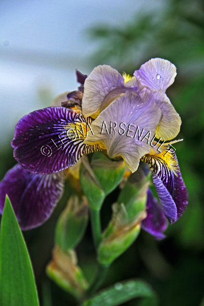 IRISES;FLOWERS;PURPLE;LAVENDER;VERTICAL