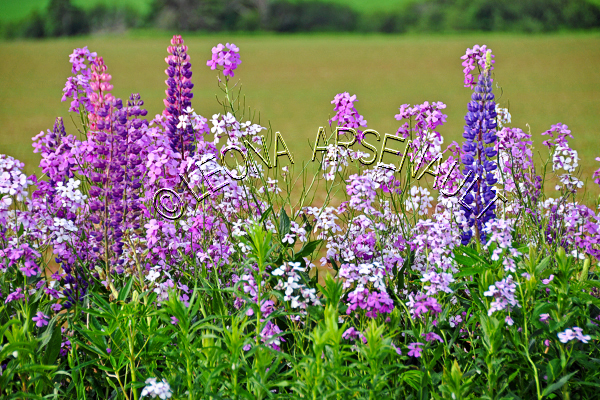 LUPINS;PHLOXES;FLOWERS;WHITE;PURPLE;PINK;HORIZONTAL