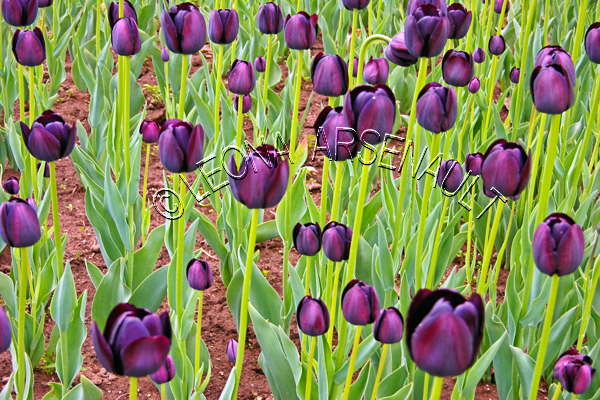 TULIPS;FLOWERS;PURPLE;HORIZONTAL