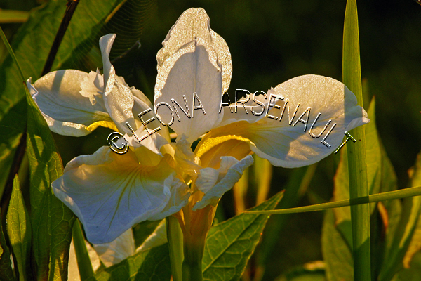 IRISES;FLOWERS;WHITE;YELLOW;HORIZONTAL