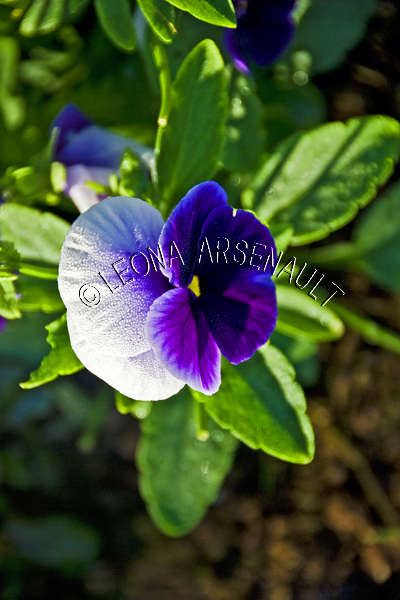 PANSIES;VIOLAS;FLOWERS;WHITE;PURPLE;LAVENDER;VERTICAL