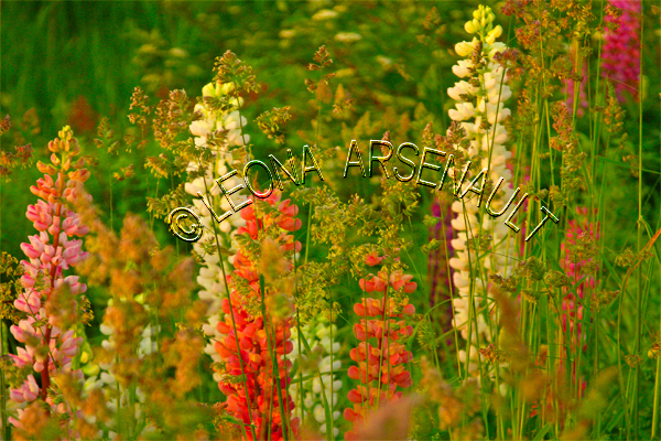 LUPINS;FLOWERS;RED;PINK;WHITE;HORIZONTAL