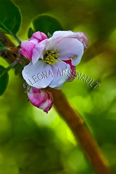 APPLE BLOSSOMS;FLOWERS;WHITE;PINK;VERTICAL