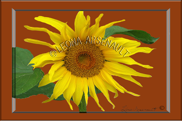 FLOWERS;SUNFLOWERS;YELLOW;DIGITALLY FRAMED;HORIZONTAL