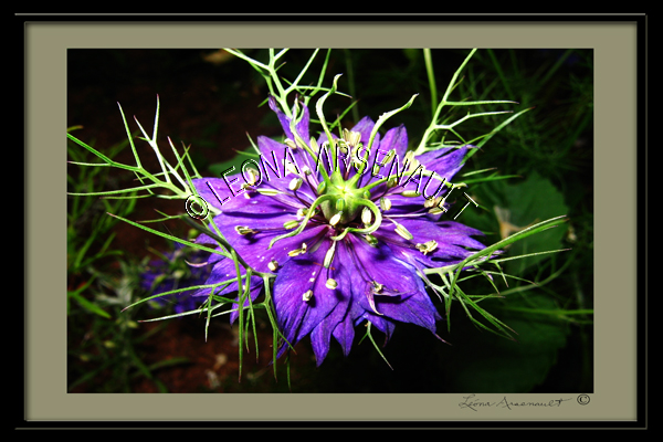 FLOWERS;NIGELLAS;LOVE_IN_THE_MIST;PURPLE;DIGITALLY_FRAMED;HORIZONTAL
