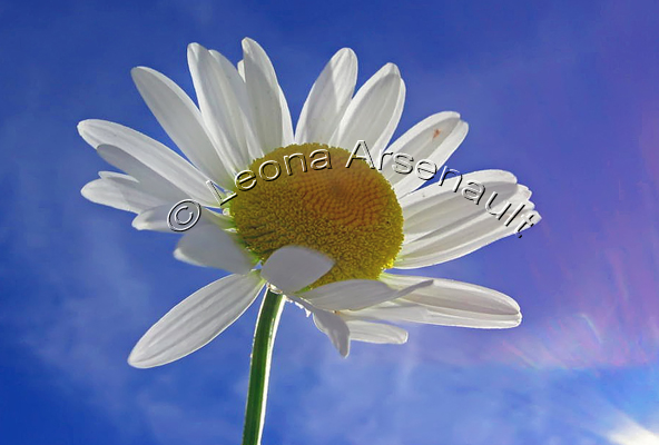 DAISIES;WHITE;FLOWERS;HORIZONTAL