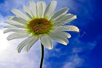 FLOWERS;DAISIES;WHITE;YELLOW;HORIZONTAL