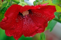 FLOWERS;HOLLYHOCKS;RED;HORIZONTAL