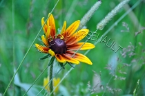 FLOWERS;RUDBECKIAS;YELLOW;RED;HORIZONTAL