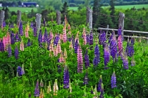 FLOWERS;LUPINS;FENCE;LAVENDER;WHITE;YELLOW;PEACH;PURPLE;PINK;HORIZONTAL