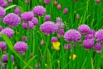 CHIVES;FLOWERS;PINK;HORIZONTAL