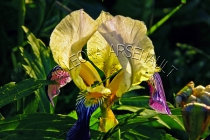 IRISES;FLOWERS;YELLOW;HORIZONTAL