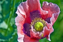 POPPY;FLOWERS;PINK;LAVENDER;HORIZONTAL