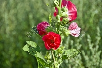 HOLLYHOCKS;FLOWERS;PINK;RED;HORIZONTAL