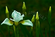 IRISES;FLOWERS;WHITE;HORIZONTAL