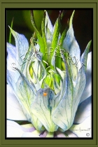 FLOWERS;NIGELLAS;LOVE_IN_THE_MIST;WHITE;GREEN;DIGITALLY_FRAMED;VERTICAL