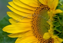SUNFLOWERS;YELLOW;FLOWERS;HORIZONTAL