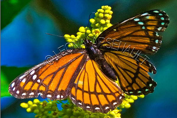 VICEROY_BUTTERFLY;BUTTERFLY;INSECT;INVERTEBRATE;HORIZONTAL