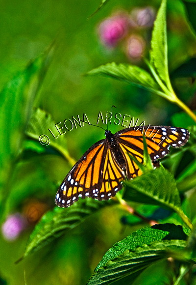 VICEROY_BUTTERFLY;BUTTERFLY;INSECT;INVERTEBRATE;VERTICAL