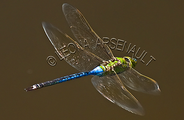 BLUE DRAGONFLY;INVERTEBRATE;INSECT;HORIZONTAL