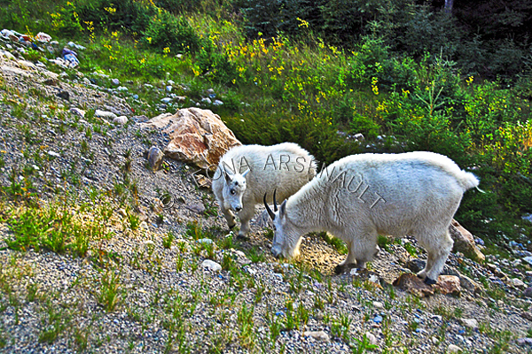 MAMMALS;LAND MAMMALS;MOUNTAIN GOATS;MOTHERS;BABIES;KIDS;HORIZONTAL