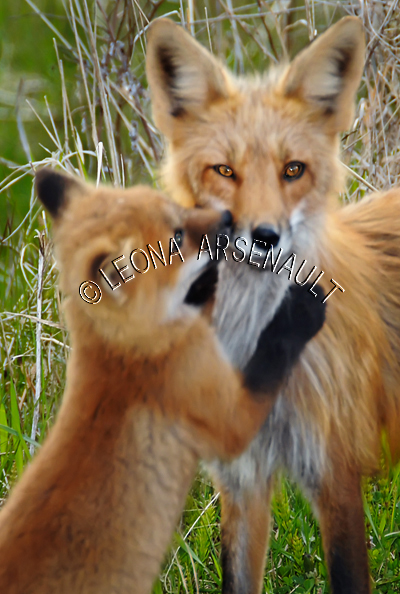 ;RED FOXES;FOXES;ANIMALS;MAMMALS;WILDLIFE;CARNIVORES;VULPES;VIXEN;CUB;BABY;MOTHER;LAND MAMMALS;