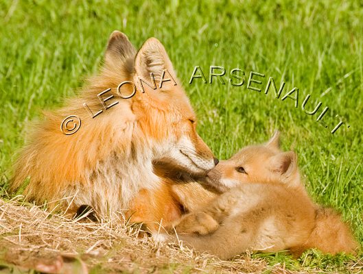 MAMMALS;LAND MAMMALS;FOXES;BABIES;MOTHER;CUBS;HORIZONTAL